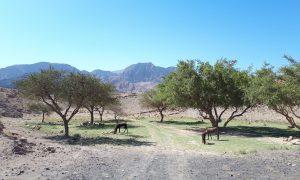 Jordanië Dana Natuurpark Ezels
