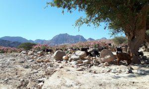 Jordanië Dana Natuurpark Geiten