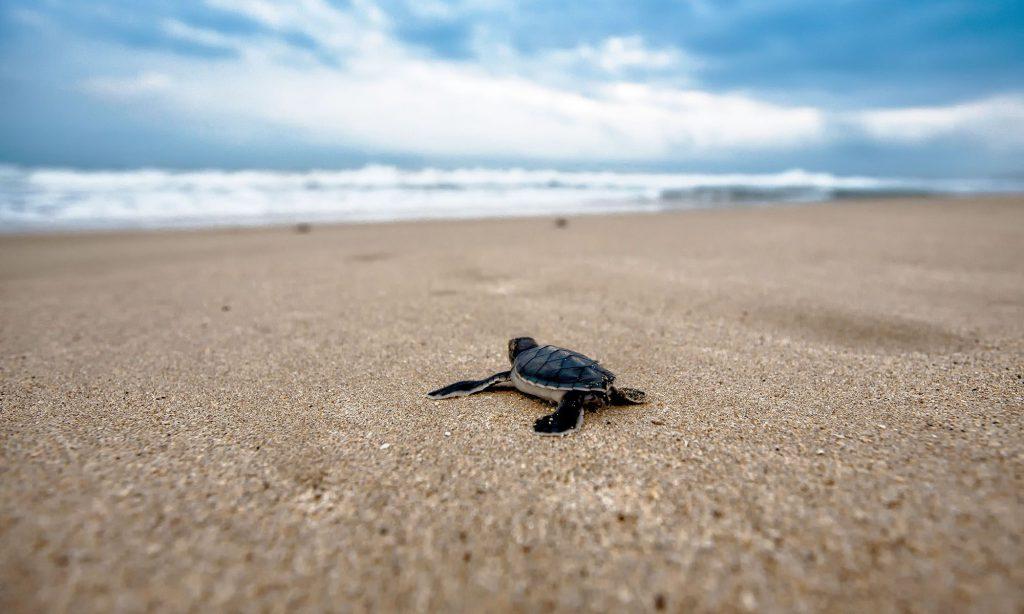 Schildpadden spotten in Oman