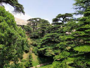 Cederbomen