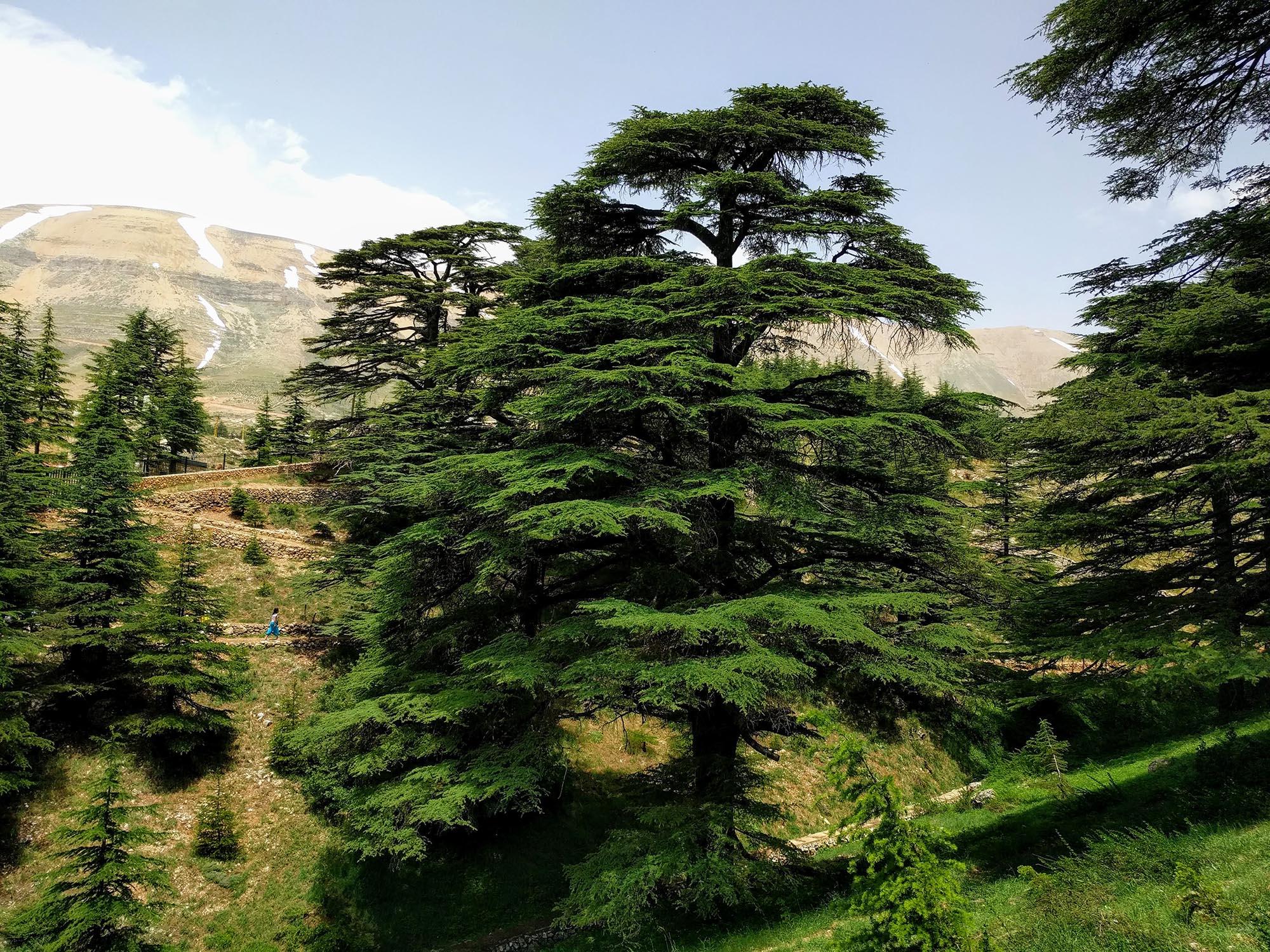 Cederbomen Libanon