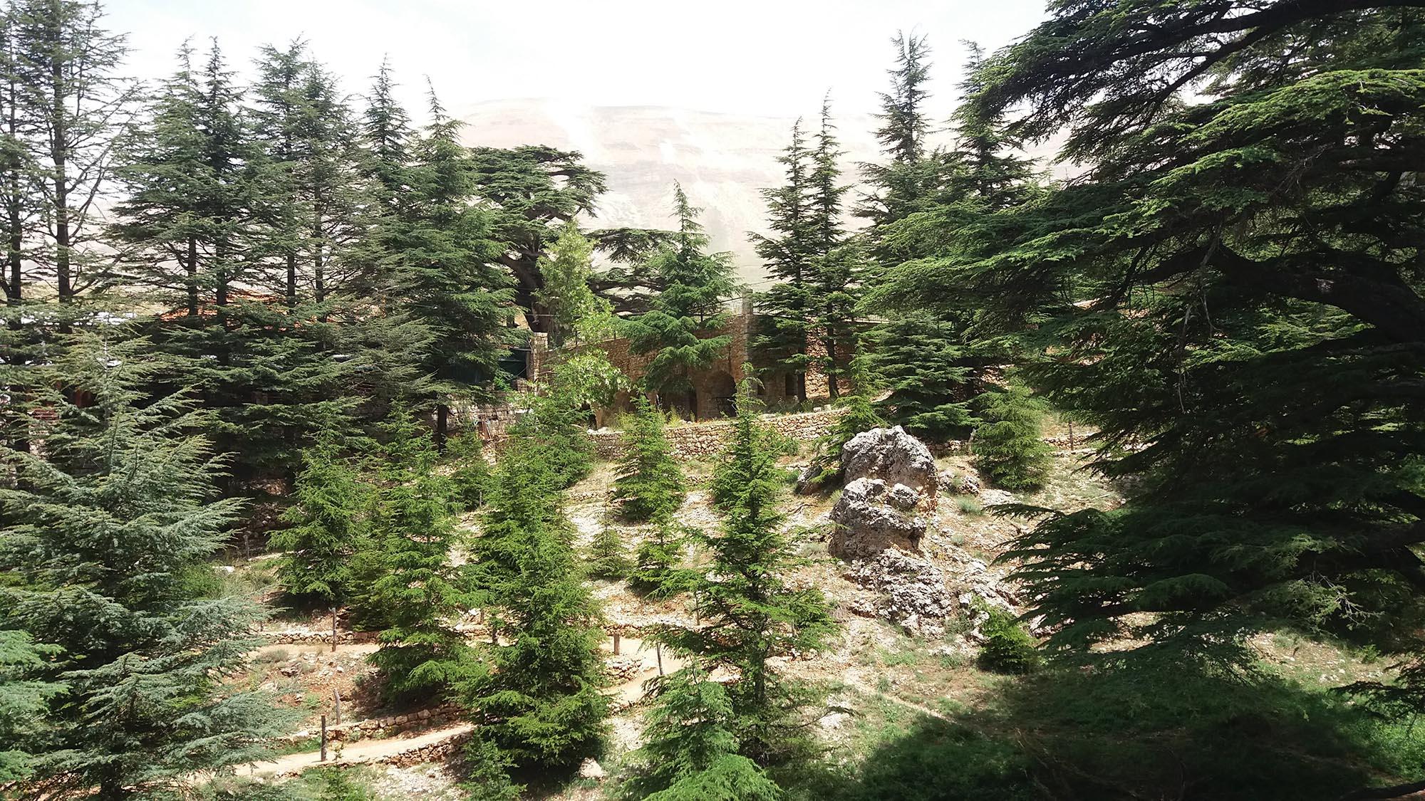 Libanon Cederbomen