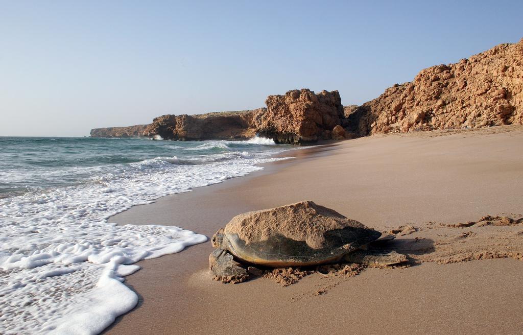 Schildpad onderweg naar de zee vanaf Ras al-Jinz