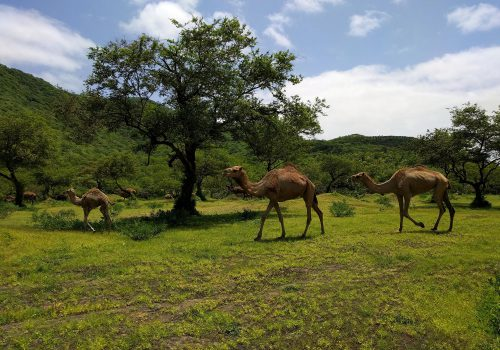 Oman Wadi Darbat Kamelen