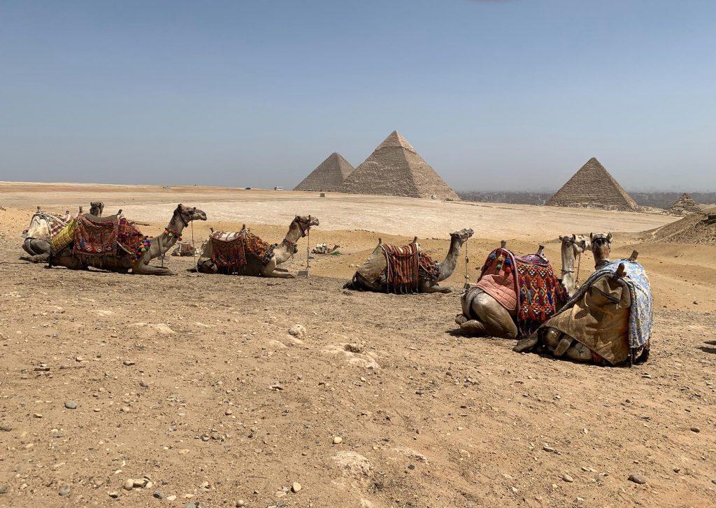 Kamelen Voor Piramides Van Gizeh